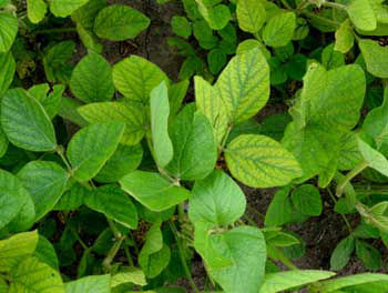 Manganese-deficient soybean plants.