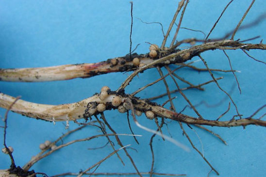 Nitrogen fixation in soybeans is carried out by Bradyrhizobium japonicum bacteria that colonize the roots.