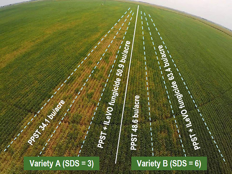 Trial location near Utica, NE showing differences in SDS symptoms among seed treatments on an SDS-susceptible (left) and resistant (right) soybean variety.