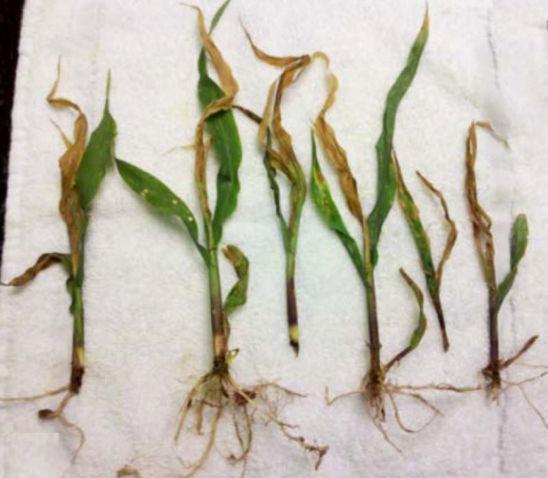 Corn seedlings injured by sugarcane beetles