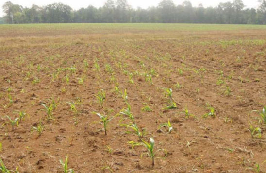 Plant population reduction from sugarcane beetles