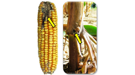 Kernel damage caused by southwestern corn borer (left) and corn stalk with corn borer entrance hole at plant base (right).