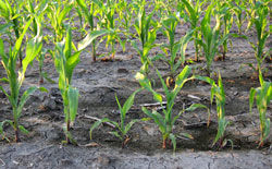 Uneven corn stand due to wet soil conditions.