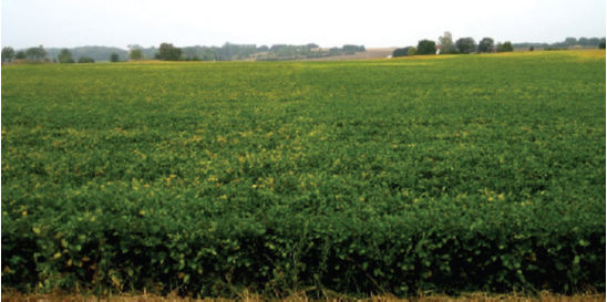 Photo: Soybean field with high (left) and low (right) seeding rates.