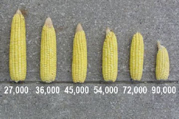 Ear size response to plant population.