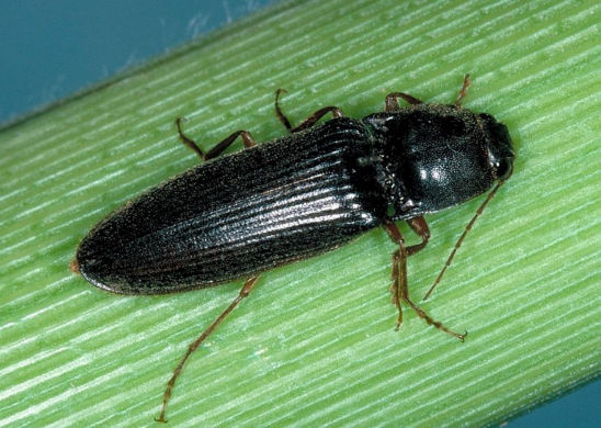 "Adult wireworms, known as ""click beetles,"" are yellow, brown, black, or gray and slender with a bullet-shaped abdomen."