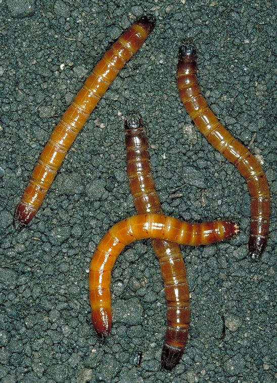Wireworms are the larvae of many beetle species. They are destructive pests of crop plants worldwide, especially in temperate regions.