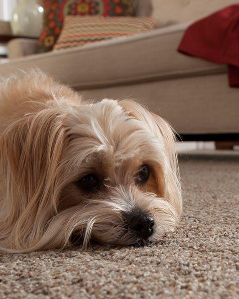 Forever Fresh Carpet Pet Odor Resistant Carpet Pet