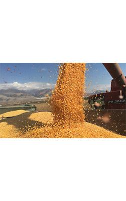 Corn Pioneeer Best