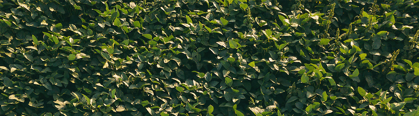 Soybeans image