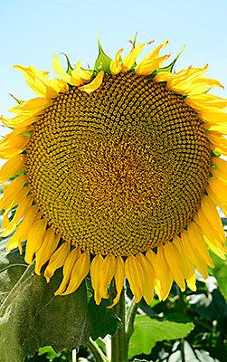 Anasayfa ayçiçeği portfolyo yönlendirme