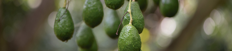 Cultivo de aguacate en verde