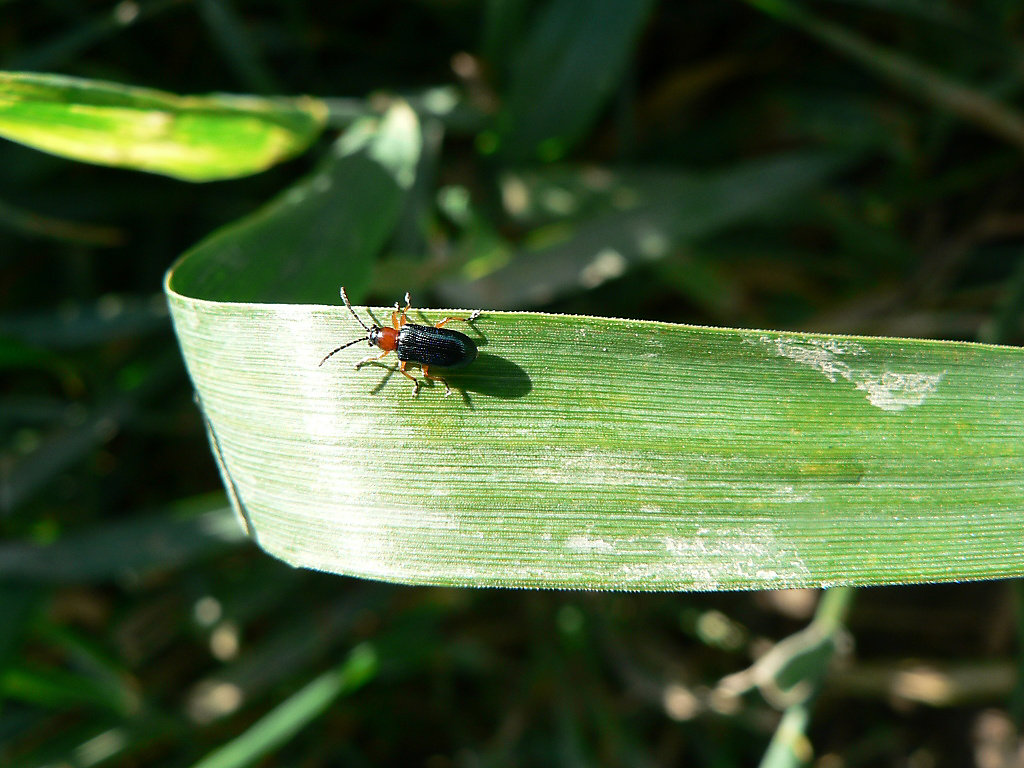 Article Image Cereale insecticide 01