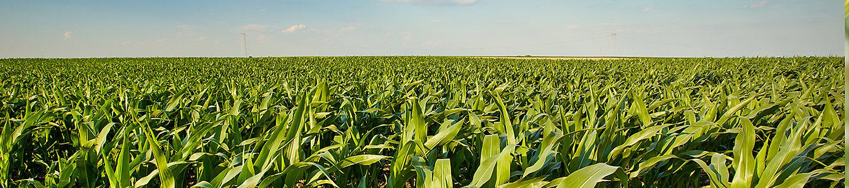 P9170 - kukurydza na ziarno I kiszonkę.