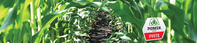 Corn Image