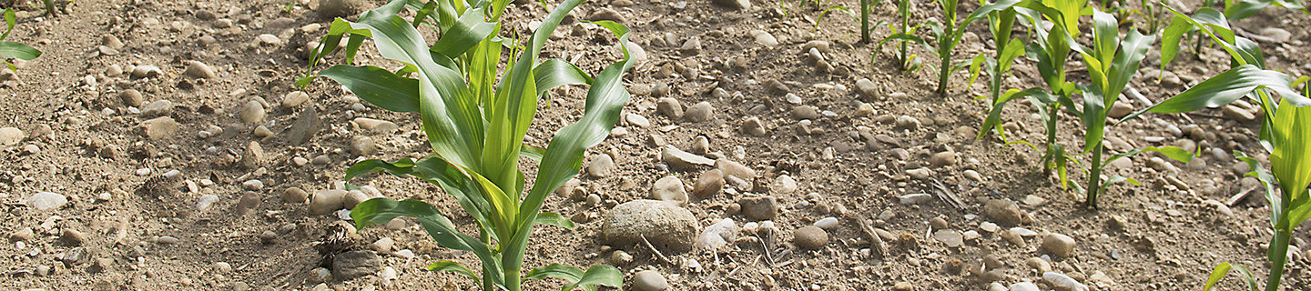 newly planted corn in a field