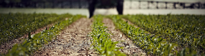 Early season corn field