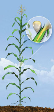 R3 Corn Growth Stage - Milk