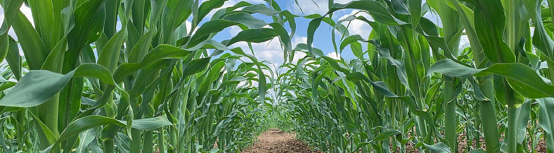 Corn Desktop Image