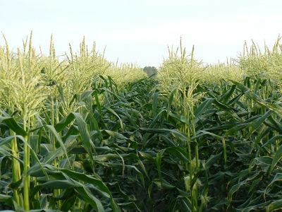 Sweet Corn flowering