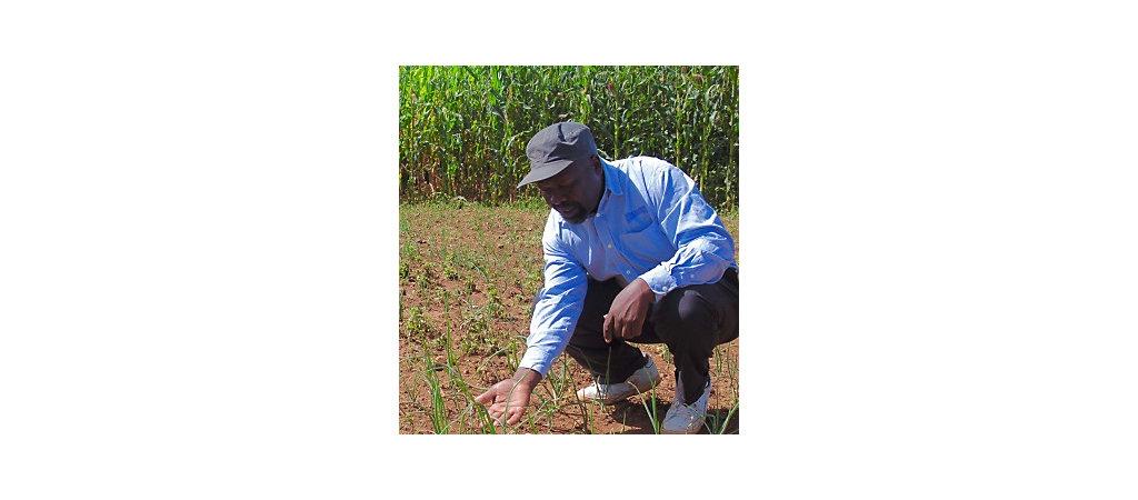 An AMPATH agronomist observes an Amiran onion demo plot