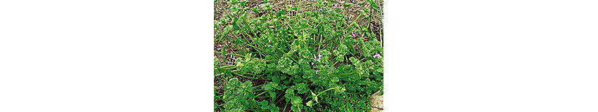 Henbit and Purple Deadnettle