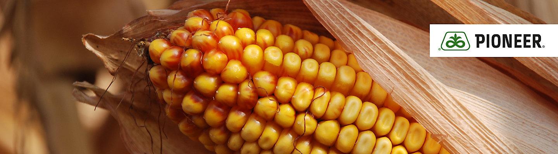 Corn seeds Mobile