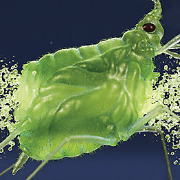 Bullet through aphid