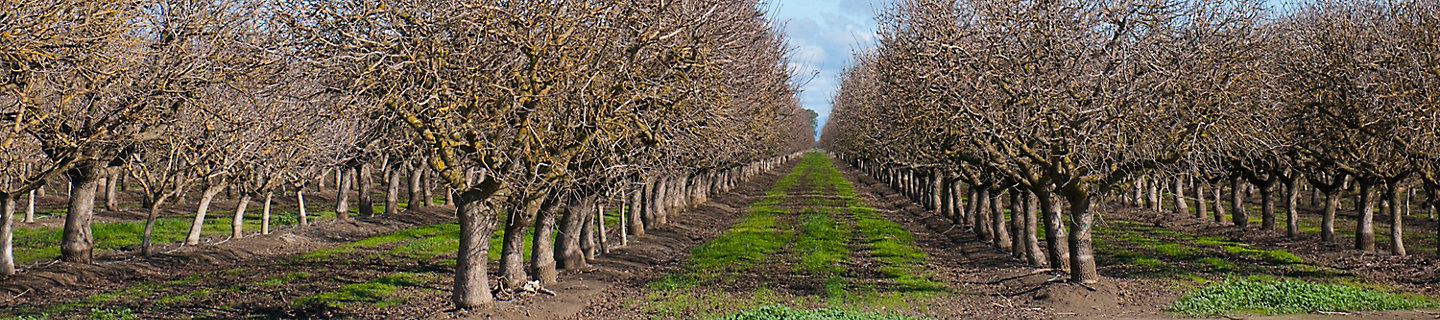 Image of a peach orchard