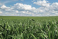 Barley crop landscape