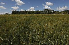 Barley heads landscape