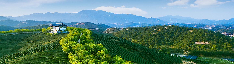 绿茶种植园