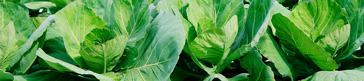Image of close up of cabbage in a field
