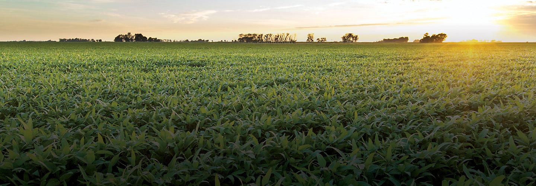 Imagen de campo de maiz con atardecer de fondo