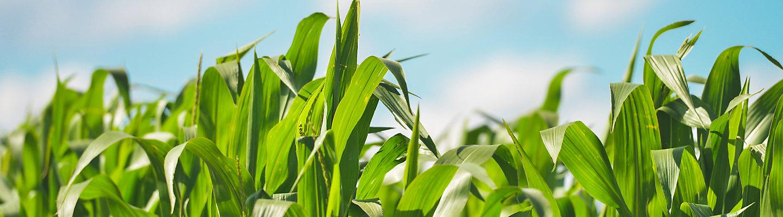 Campo Hojas de maiz