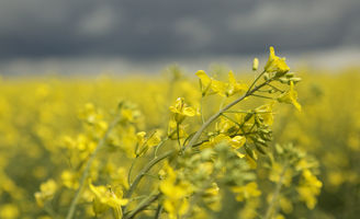 Canola close-up