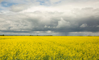 Canola field and dark clouds