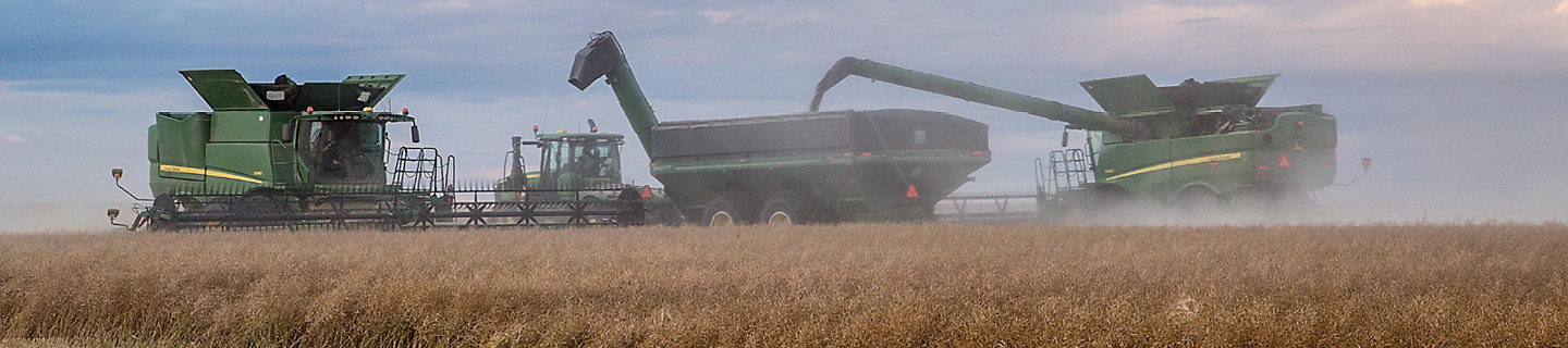 Canola harvest with combines