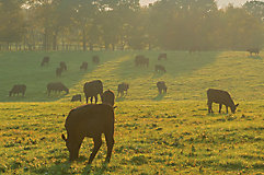IMG CattleGrazing LowSun