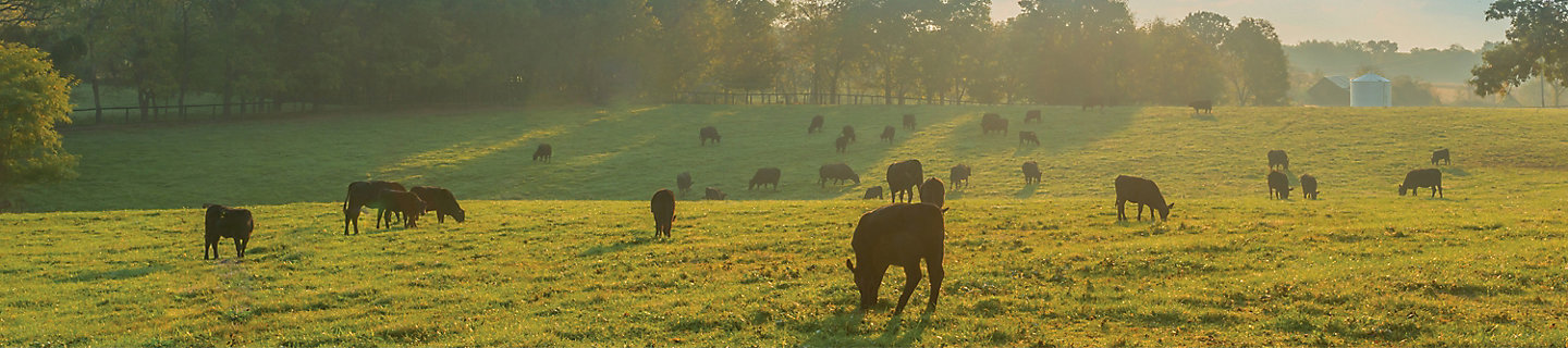 Cattle grazing and low sun