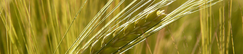Imagen de Trigo con Rayos de Sol Desktop