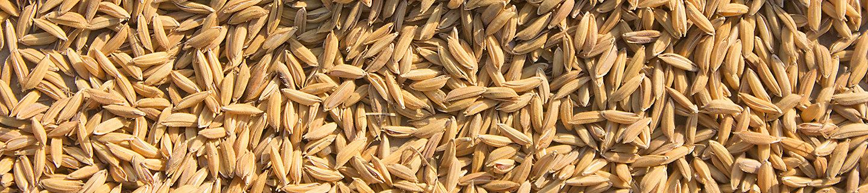 rice sunlight