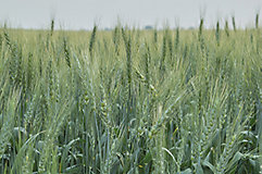 Wheat head close-up