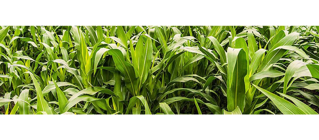 IMG-Corn-CloseUp-3-6_1