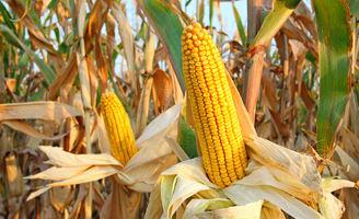 Corn ear close-up