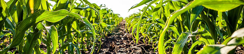 Image of corn field