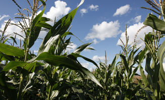 Corn field close-up