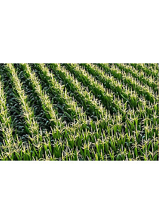 Corn field zig zag