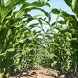 Corn treated with Keystone® LA NXT herbicide
