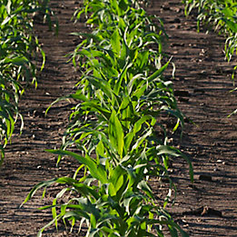 Resicore® herbicide for corn.